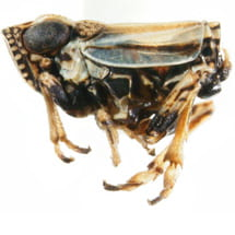 Caliscelidae