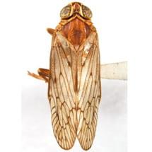Cixiidae