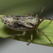 Delphax (Delphacidae)