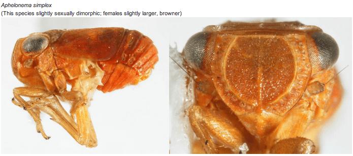 Aphelonema (Aphelonema) simplex