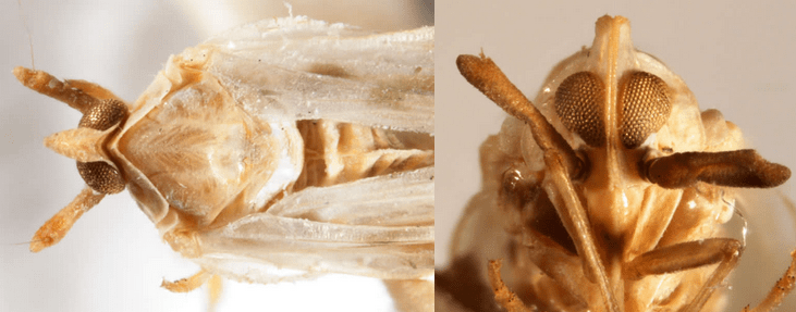 Anotia bonnetii(photographs by Kimberley Shropshire, University of Delaware)