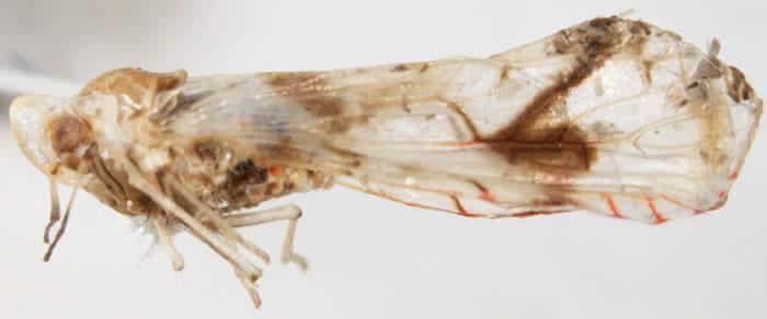 Anotia robertsonii