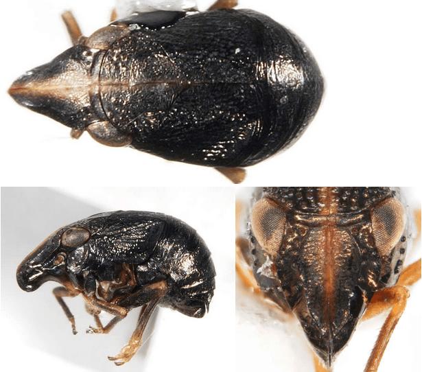 Bruchomorpha oculata (the most common eastern species)