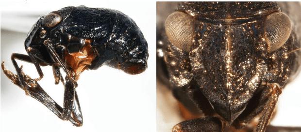 Bruchomorpha tristis(All photographs by Kimberley Shropshire, University of Delaware)
