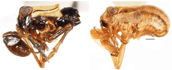 Caliscelis bonellii (Latreille, 1807), male (left) and female (right).