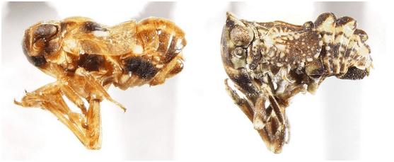 Asarcopus palmarum Horváth, 1921 (Caliscelidae) and Osbornia cornuta Ball, 1910 (Tropiduchidae Gaetuliini).