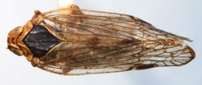 Asotocixius diopter (Photo by Kimberley Shropshire, University of Delaware)