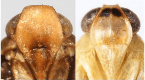 Frontal aspect ofPlatycixius calvus(left) andHaplaxius radicans(right).