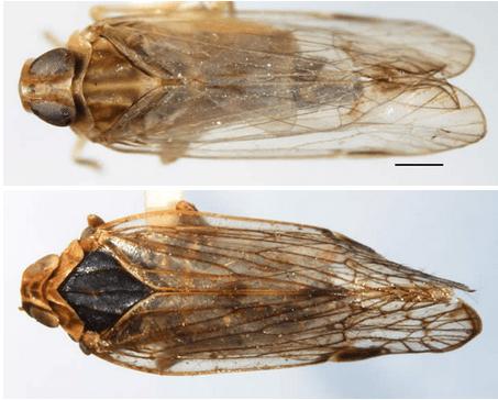 Dorsal aspect ofHaplaxius radicans(top) andAstrocixius diopter(below)
