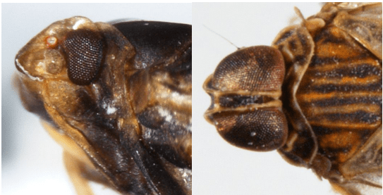 Lateral view of of head ofBothriocera cognita(left), and dorsal view of head ofOecleus borealis.