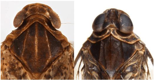 Head and thorax ofCixius pini(left) andMelanoliarus placitus(right)