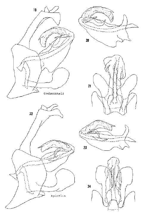 Cixius quebecensis and cixius apicalis from Kramer 1981