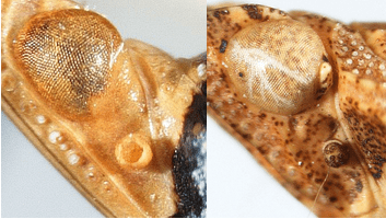Callosity behind eye: Acinaca lurida (left, callosity absent) and Orgerius concordus (right, callosity present).