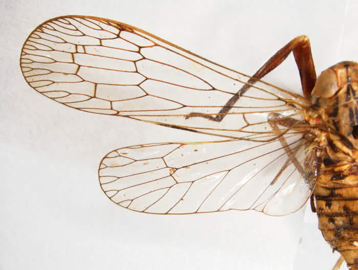 Wings of Diacira sp. (Cladodipterini, from Brazil)
