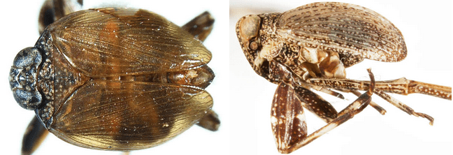Phyllocelis rubra (left) and Phylloscelis pallescens (right); note expanded legs.