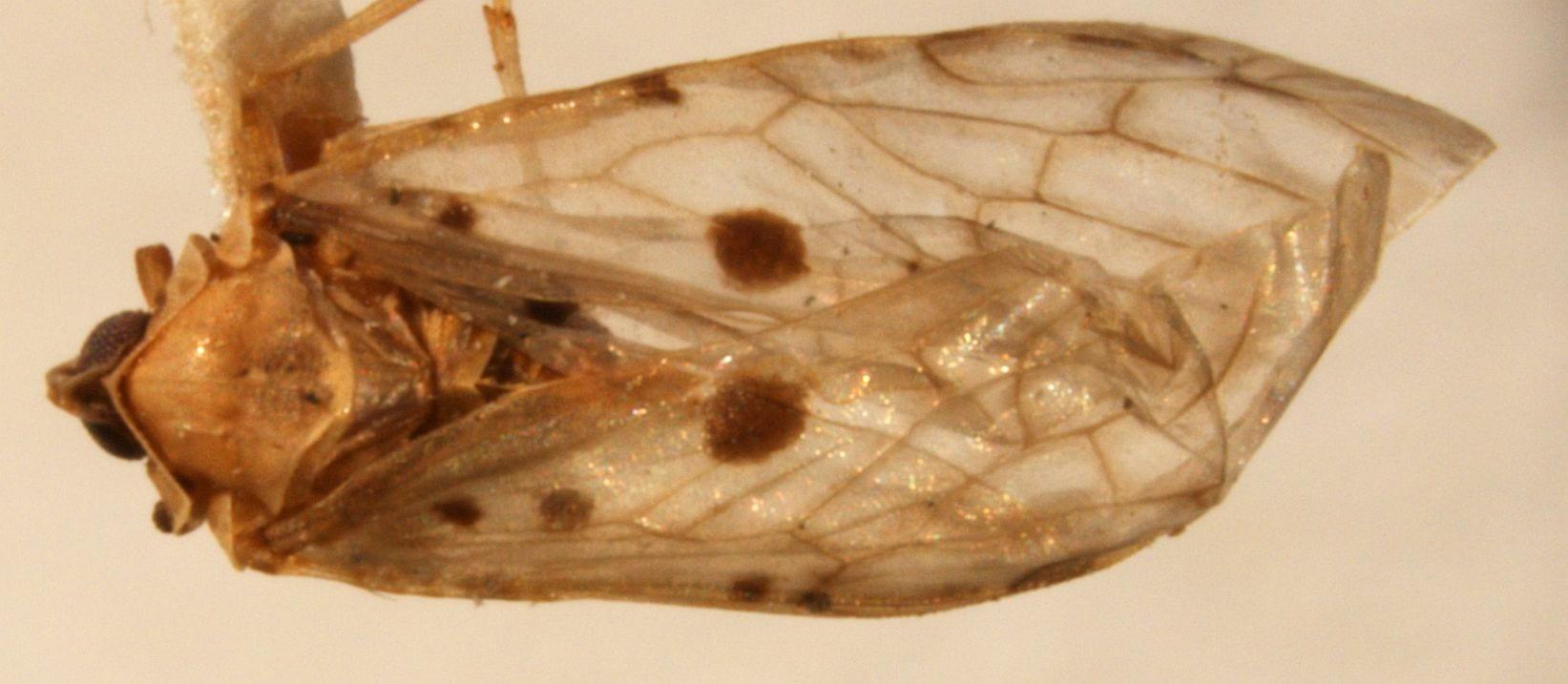 Dysimia maculata