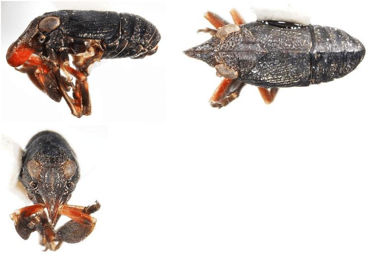 Fitchiella rufipes