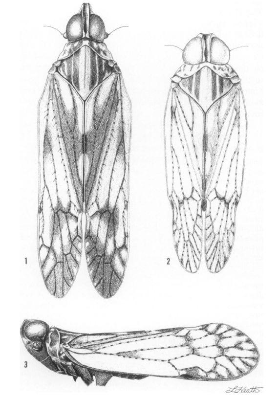 Oecleus perpictus., Oecleus martharum, Oecleus venosus.