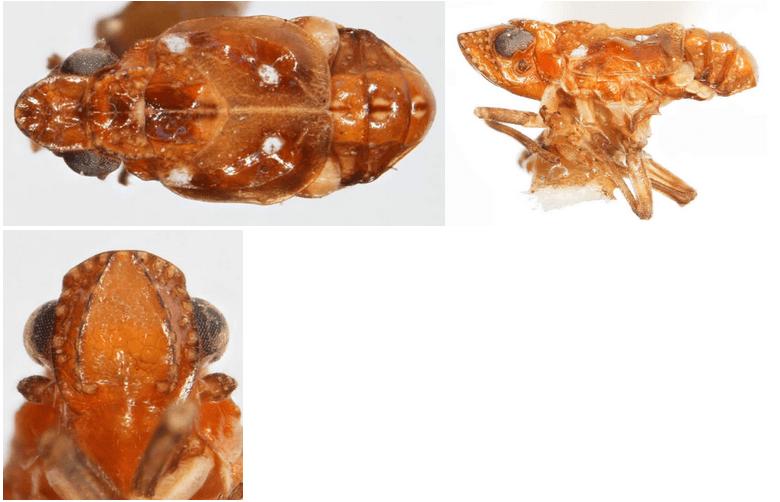 Papagonasuccinea(paratype; all photographs by Kimberley Shropshire, University of Delaware)