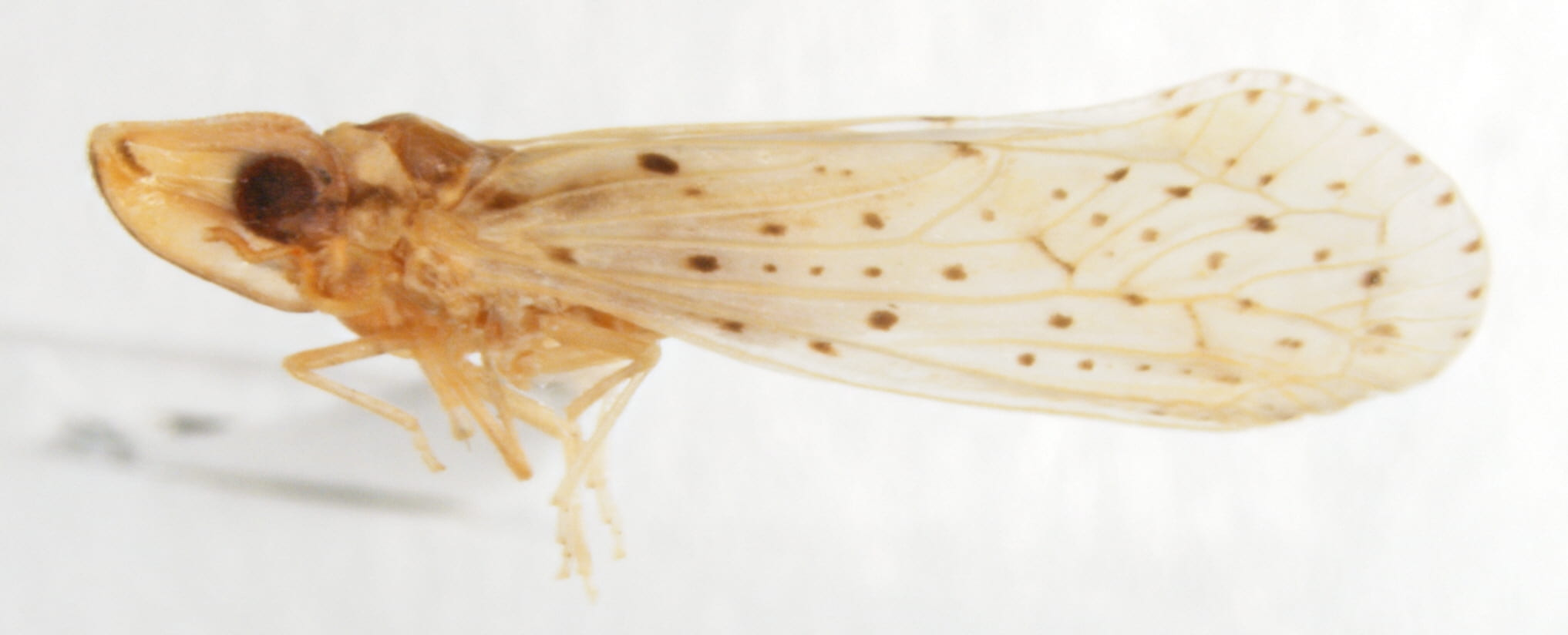 Otiocerus abbottii