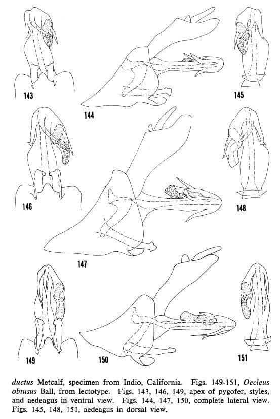Oecelus productus (Arizona), 146-148, O. productus (California), 149-151 O. obtusus.