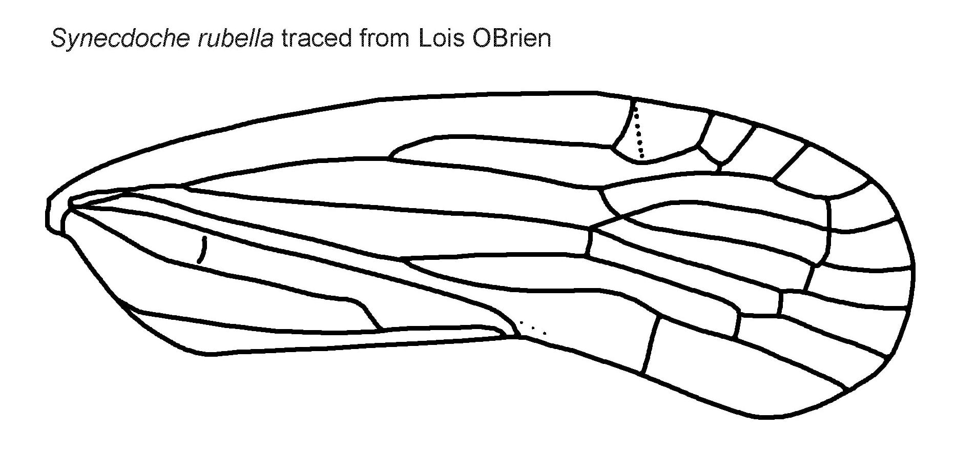 Synecdoche rubella wing