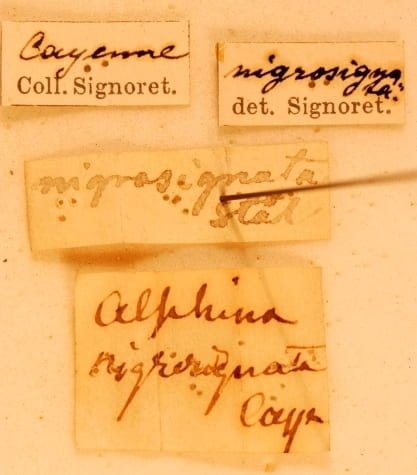 Alphina nigrosignata (type specimen; photo courtesy Geert Goemans, Department of Ecology and Evolutionary Biology, The University of Connecticut; specimen loaned from Herbert Zettel from The Museum of Natural History Vienna (NHMV).
