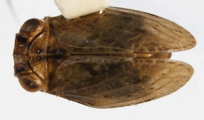 Abolloptera_bistriata-DOR2