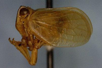 Agalmatiumlateralcrop