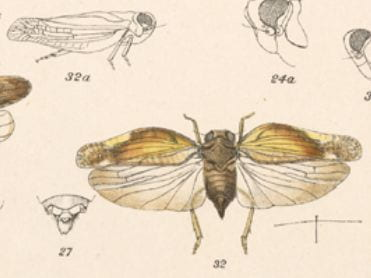 Colpoptera sinuataFowler 1904 (fig. 32 from Fowler 1904)