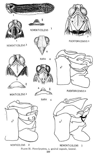 Plate 50 (Colpoptera) and 51 (Neocolpotera) from Caldwell & Martorell (1951)