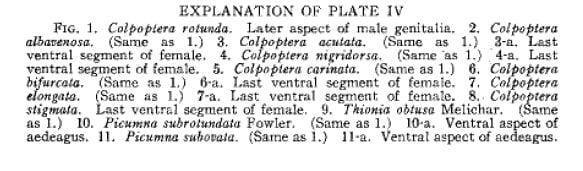 Colpoptera 8