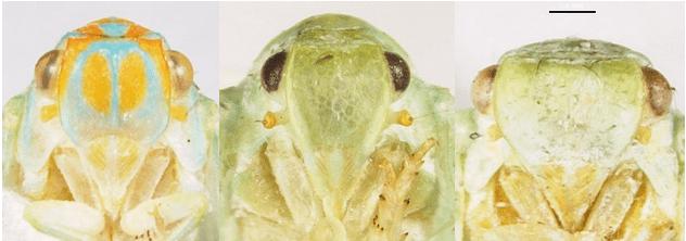 Oremnaria rufifascia,Ormenoides venustaandFlatormenis proxima