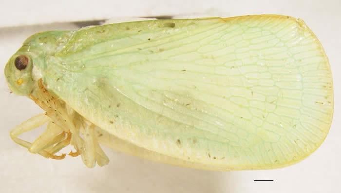 Ormenoides venusta