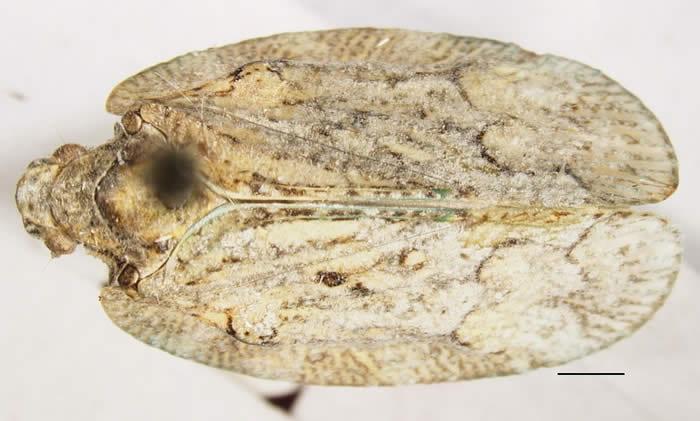 Flataloides scabrosa
