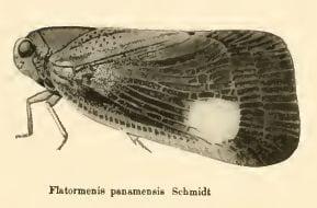Flatormenis 12