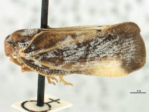 Flatormenis panamensisdrawings from Metcalf 1938; photo fromBOLD, CNC/BIO Photography Group, Biodiversity Institute of Ontario