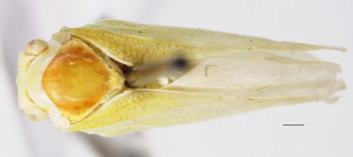 Flatormenis saucia(Photo by Kimberley Shropshire, Dept. of Entomology, University of Delaware)