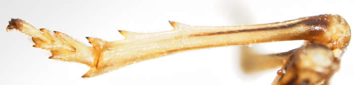 Hind tibia of Thiona elliptica showing lateral spines.