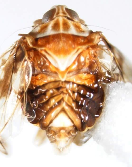 Kinnaridae (Quilessasp., Dominica) showing 'chevron shaped' tergites.