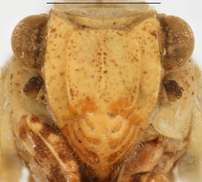 Kathleenum cornutum(all photographs by Kimberley Shropshire, University of Delaware; scale = 1 mm)