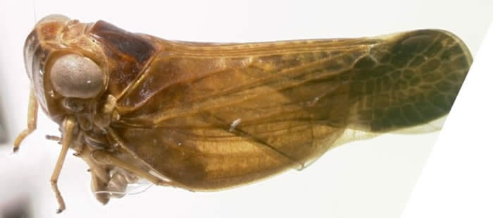 Colpoptera species from Florida (Image courtesy of Susan Halbert, FSCA).