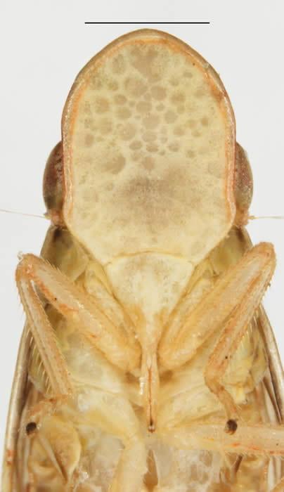 Pelitropis rotulata