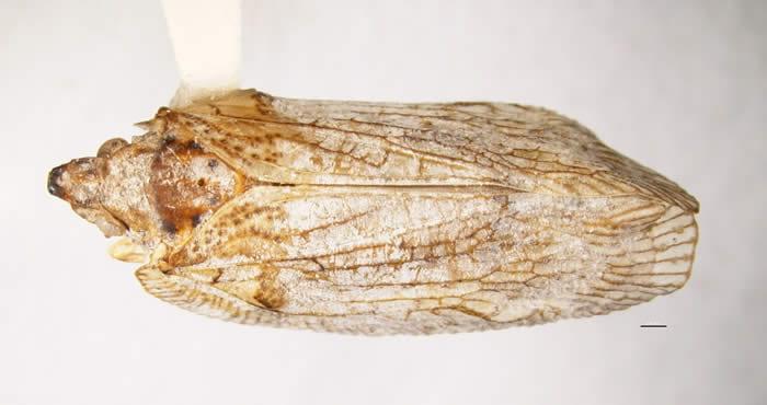 Pseudoflatoides tortrix