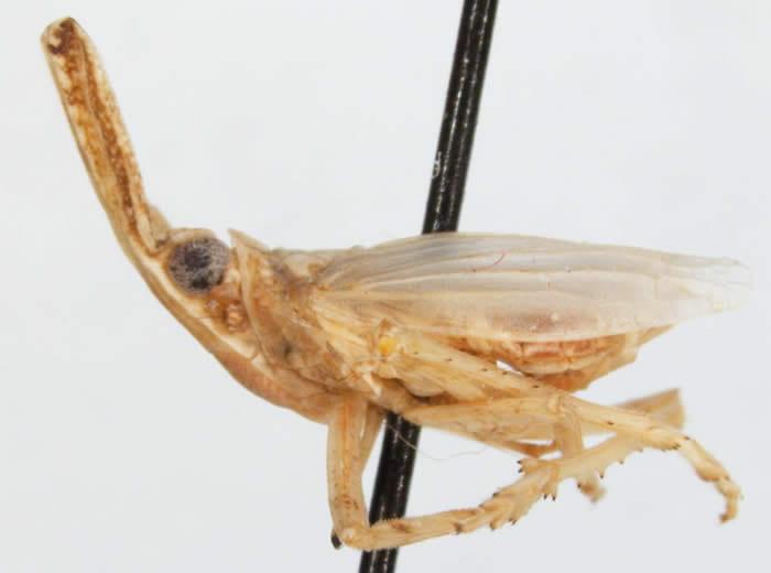 Scolops (Belonocharis) abnormis