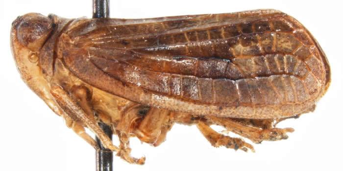 Thionia quinquata