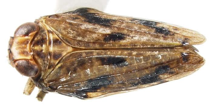 Thionia bullata