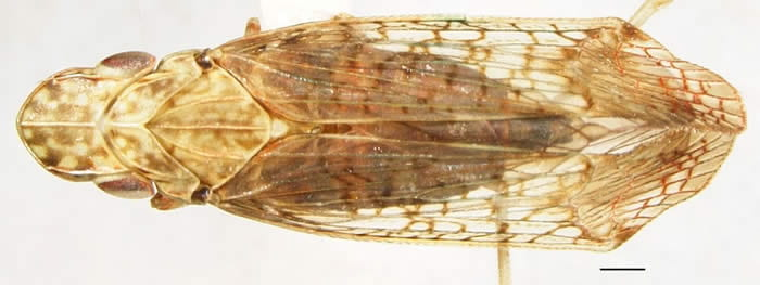 Pelitropis rotulata(Tangiini) from North Carolina (photo by Kimberley Shropshire, University of Delaware, Department of Entomology)