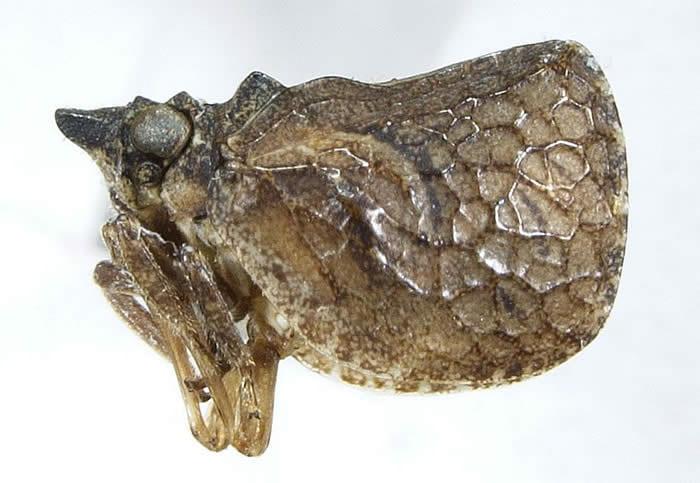 Philatis tuberculata (=Euthiscia)
