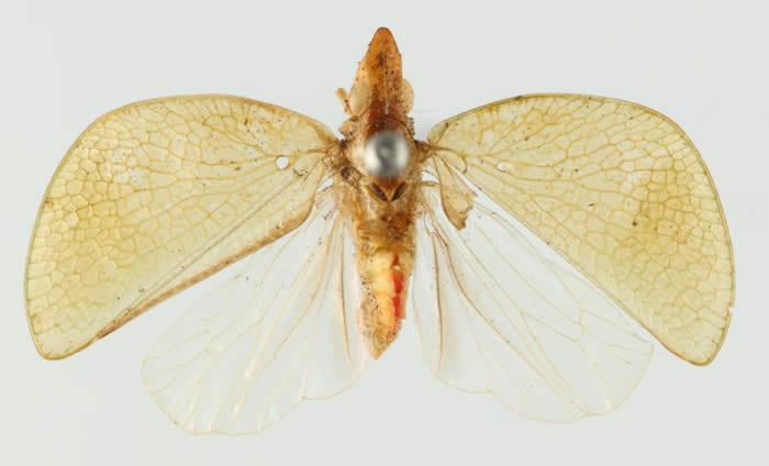 Thiscia semicircularis